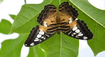 Atogrąžų drugelių paroda VDU Botanikos sode