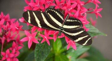 Atogrąžų drugių parodos VDU Botanikos sode atidarymas