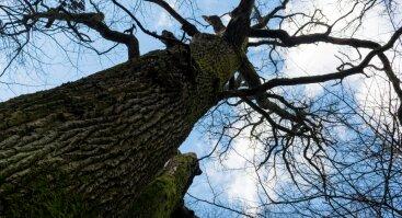 Gamtos paslaptys Kauno ąžuolyne