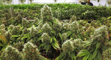 Marihuanos legalizavimas (ru-lt)