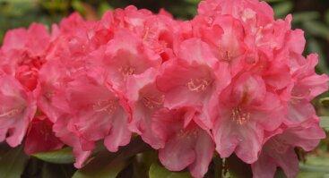 Popietė su rododendrais