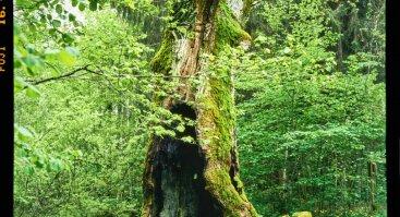 """Lietuva–Lutruwita. Didis medis. Šventas medis"". Phillip England instaliacija"