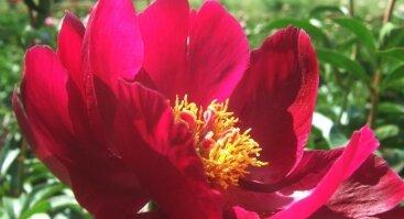 VU Botanikos sodas, Kairėnų skyrius